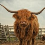 How the Highland Cow Became Scotland's Unofficial National Animal